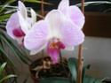 orchidée phalaenopsis Orchid11