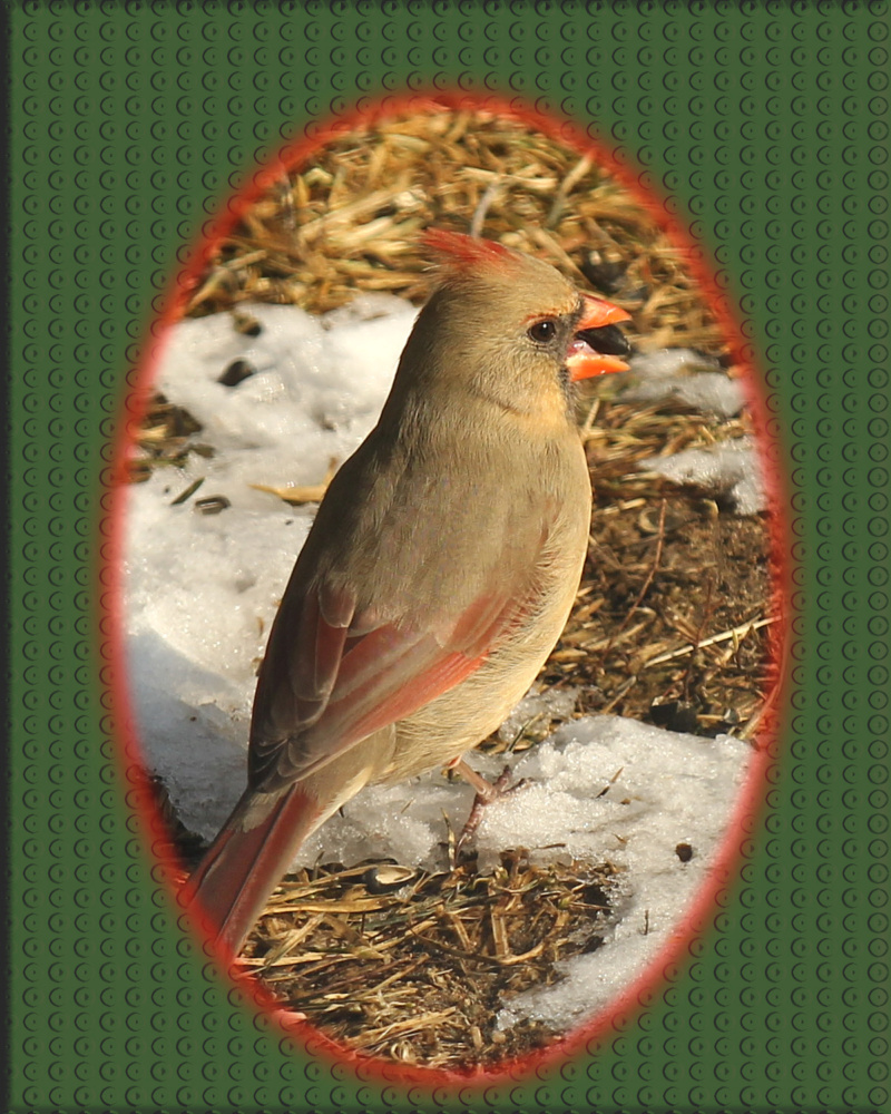 Cardinal rouge femelle Cardin11