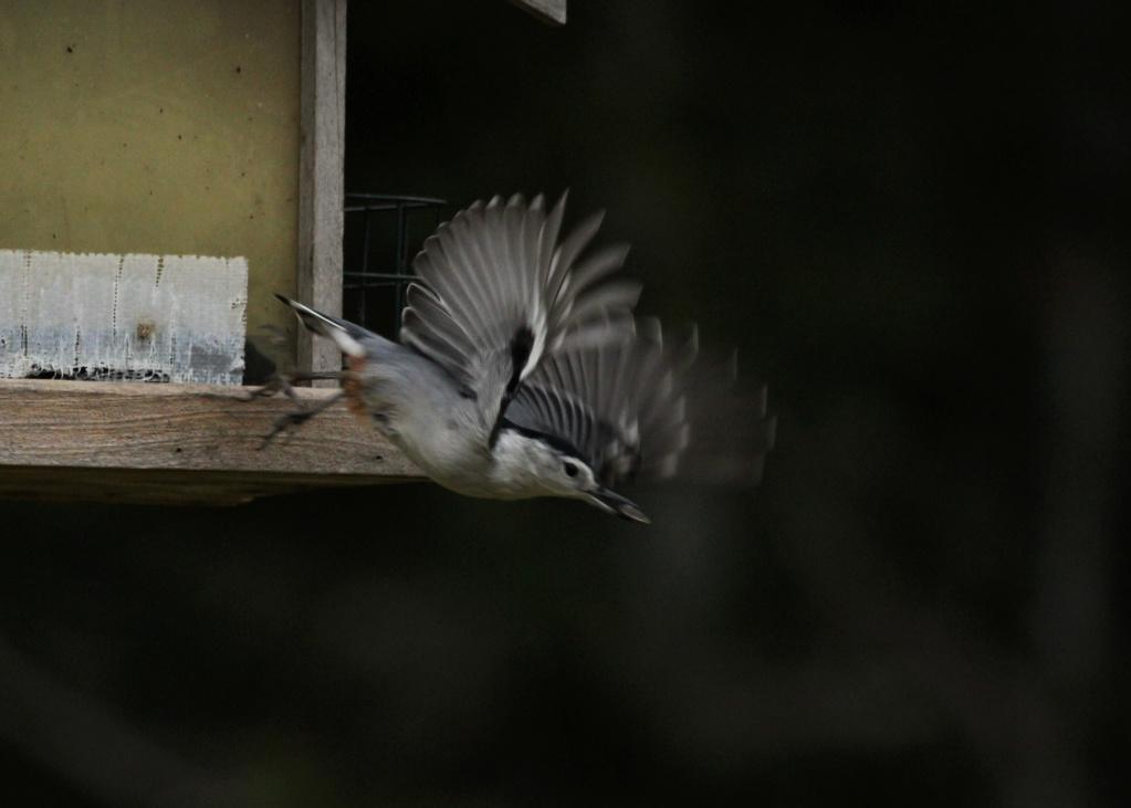 Une visite rare chez moi, Sittelle à poitrine blanche Img_0017