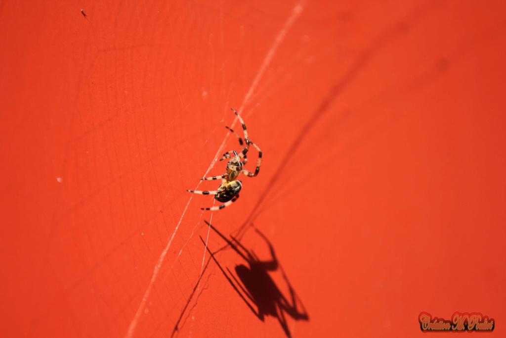 araignée Img_0710