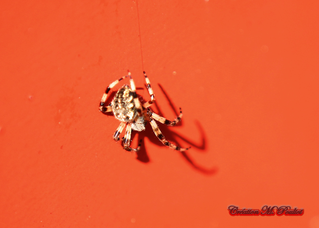 araignée Img_0711