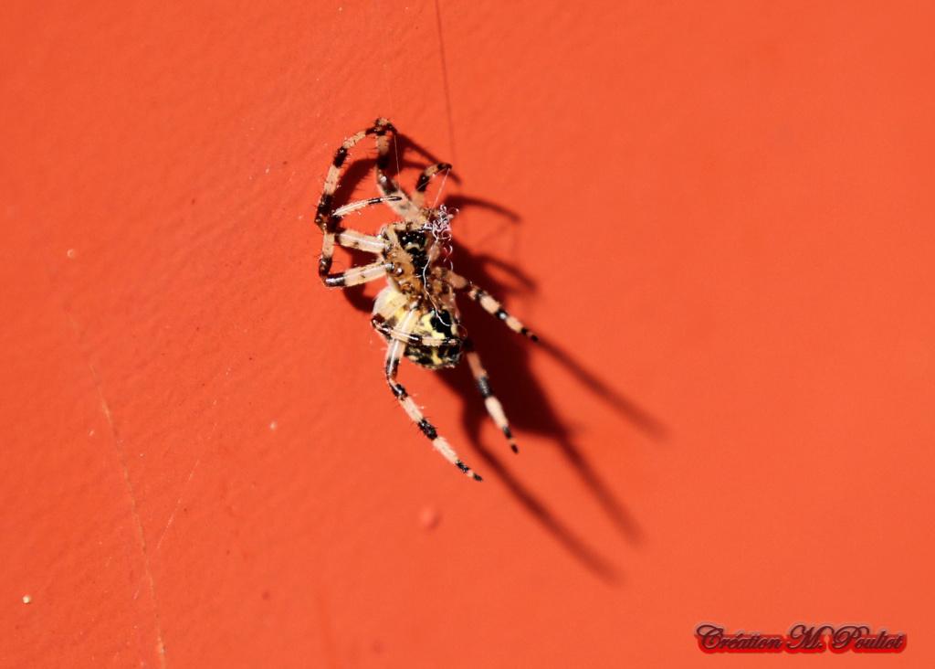 araignée Img_0712