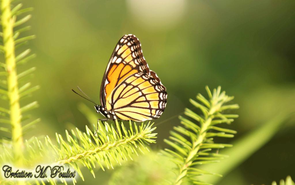 Papillon Vice-roi et Monarque Img_1812