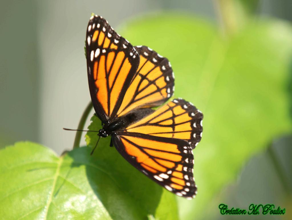 Papillon Vice-roi et Monarque Img_1813