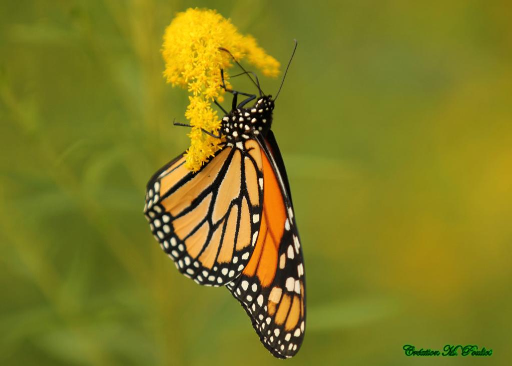 Papillon Vice-roi et Monarque Img_2110