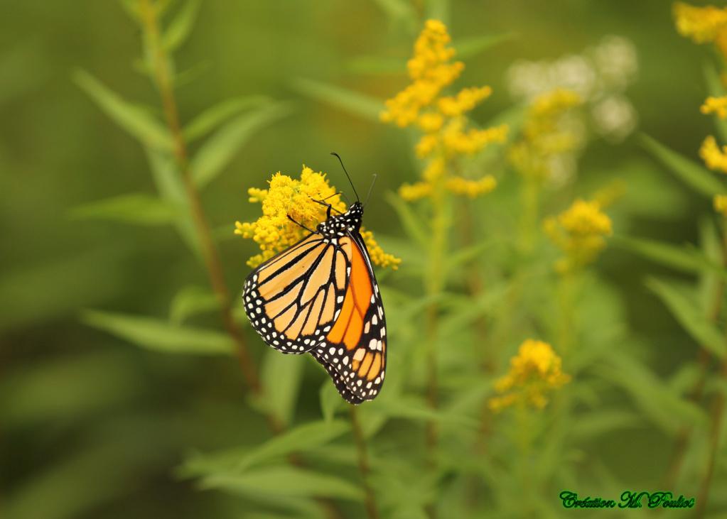 Papillon Vice-roi et Monarque Img_2111