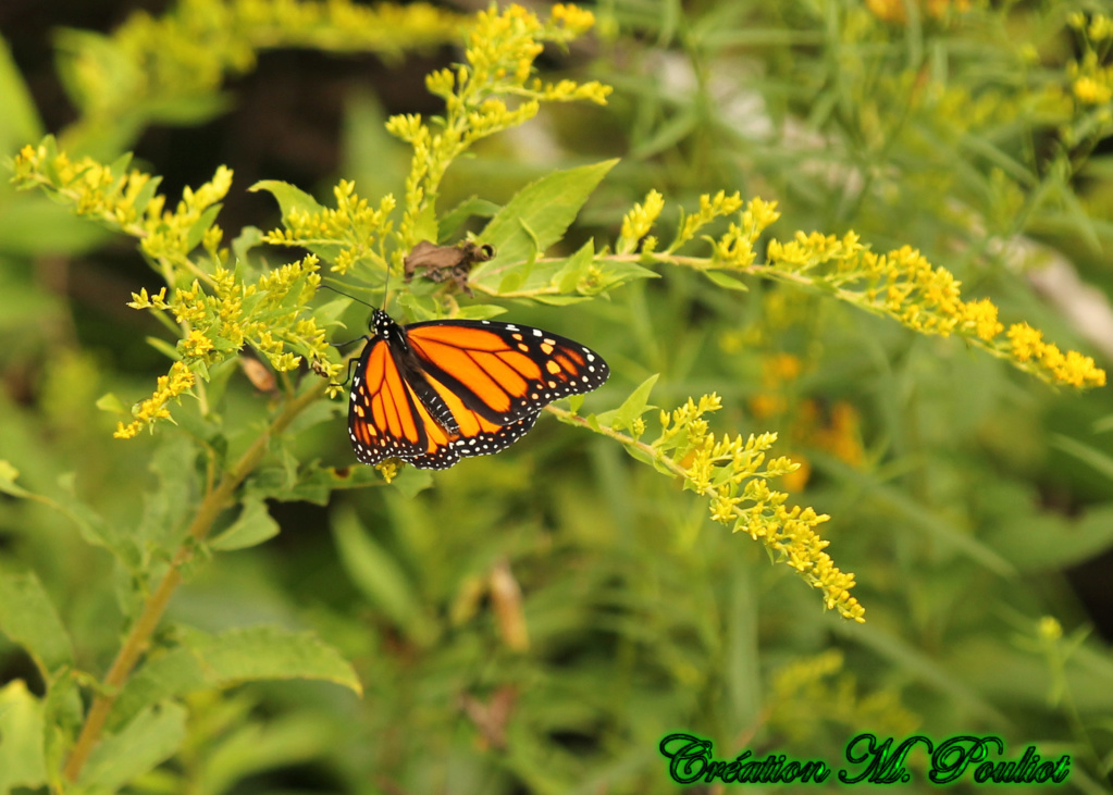 Papillon Vice-roi et Monarque Img_2112