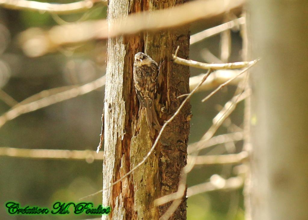 Grimpereau brun Img_2210