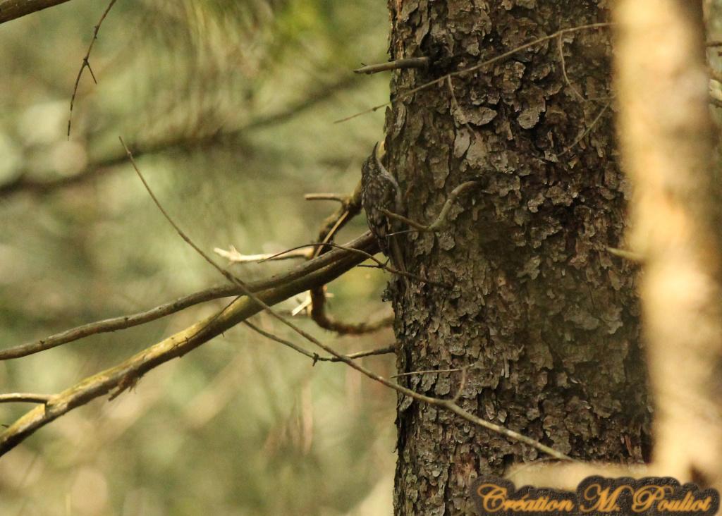 Grimpereau brun Img_2211