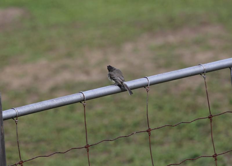 quel est cet petit oiseau gris Img_3321