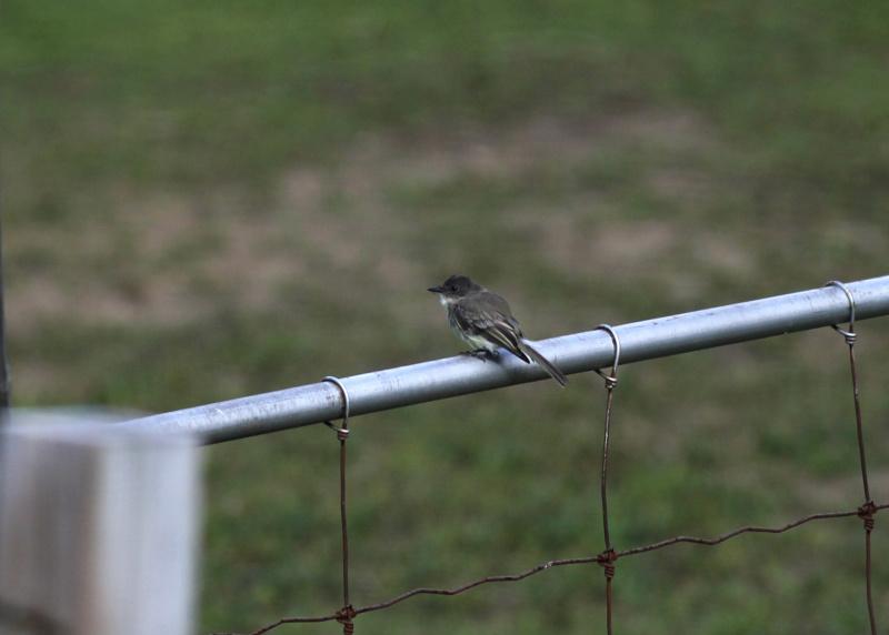 quel est cet petit oiseau gris Img_3322