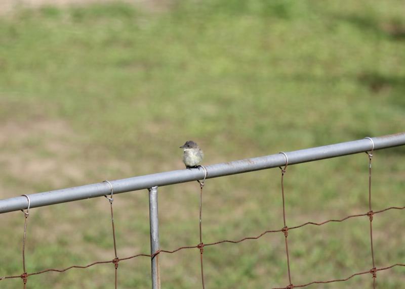 quel est cet petit oiseau gris Img_3323