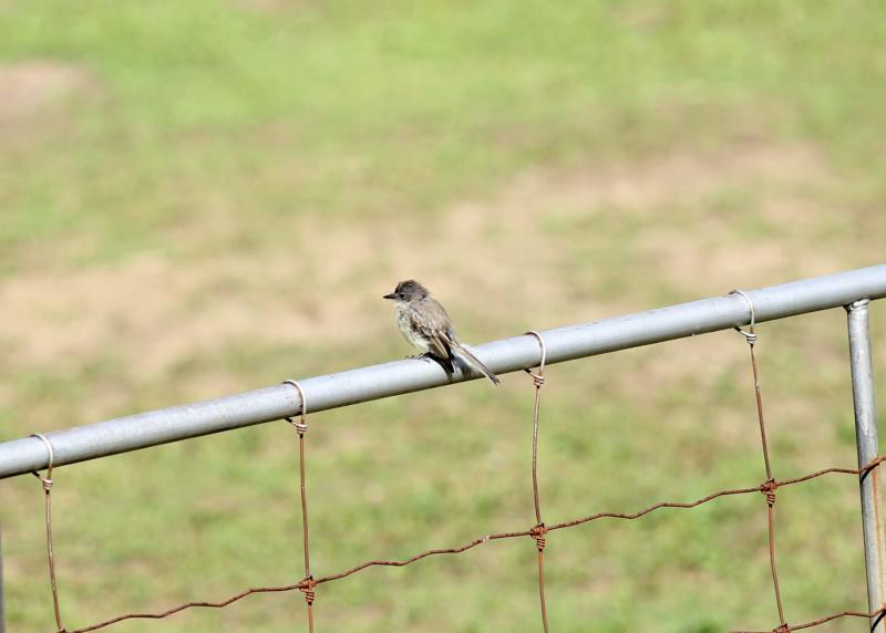 quel est cet petit oiseau gris Img_3324