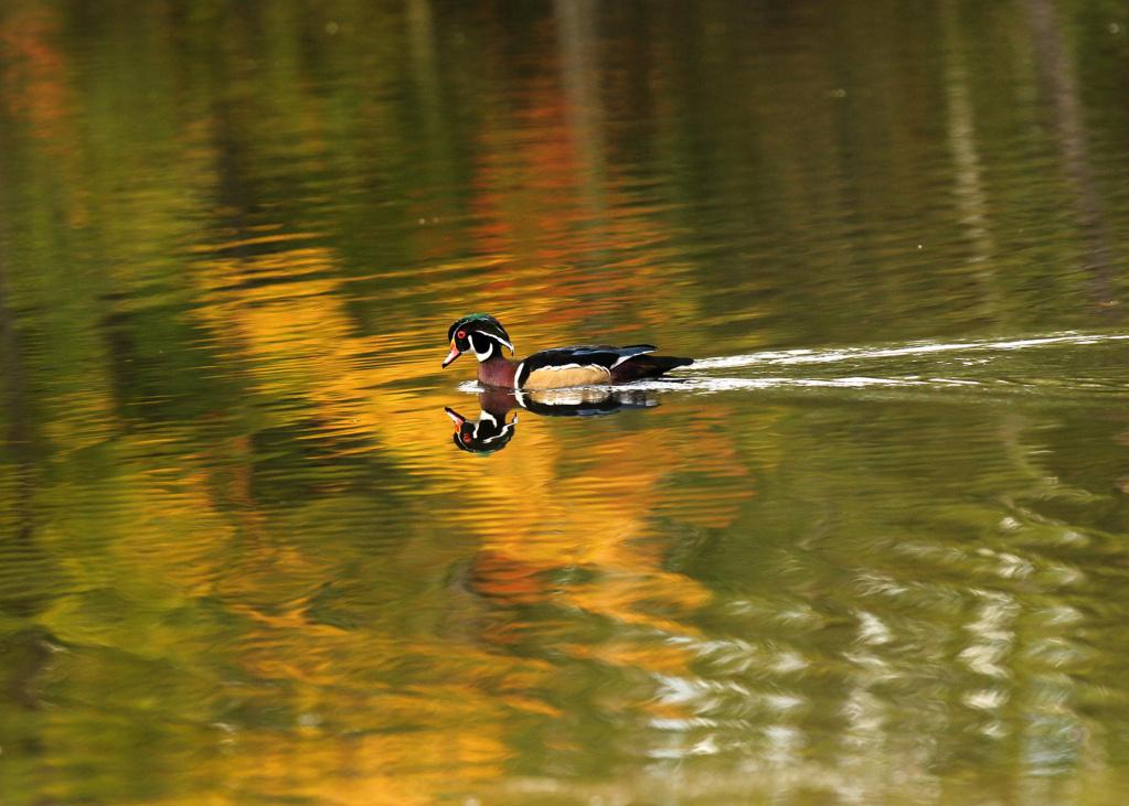 Mâle branchu aux couleurs d'automne Img_3710