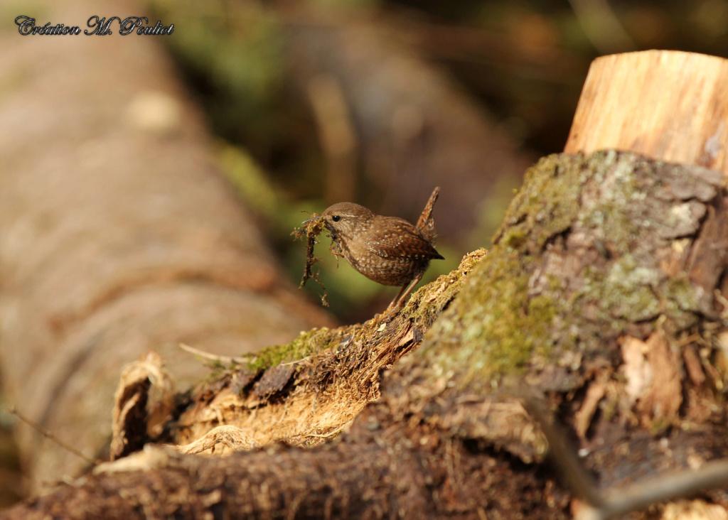 Troglodyte fait son nid Img_7615