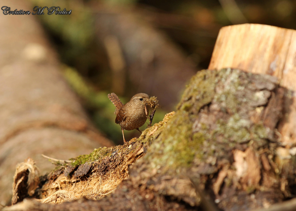 Troglodyte fait son nid Img_7616