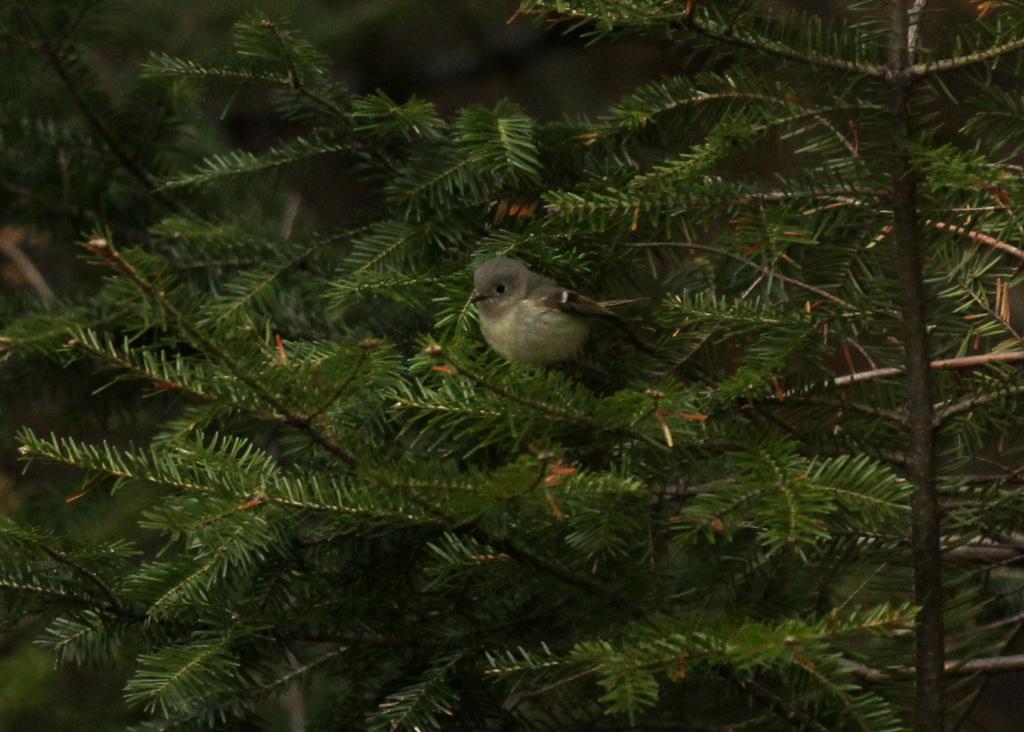 Quel est ce petit oiseau qui semblait butiner les sapins Img_7617