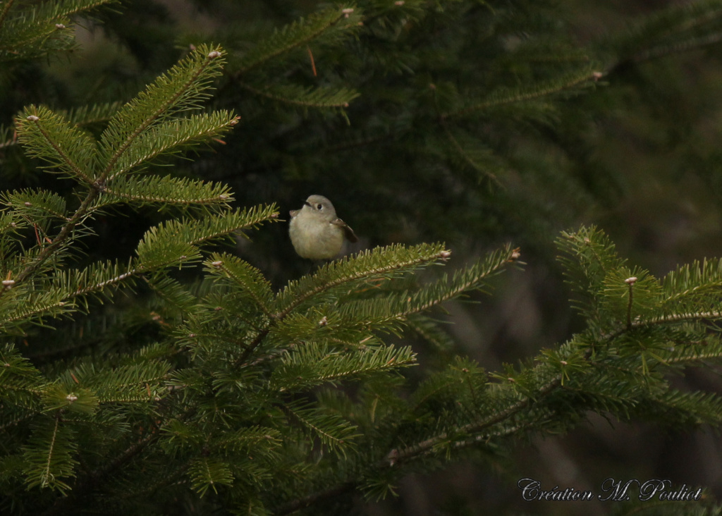 Quel est ce petit oiseau qui semblait butiner les sapins Img_7618