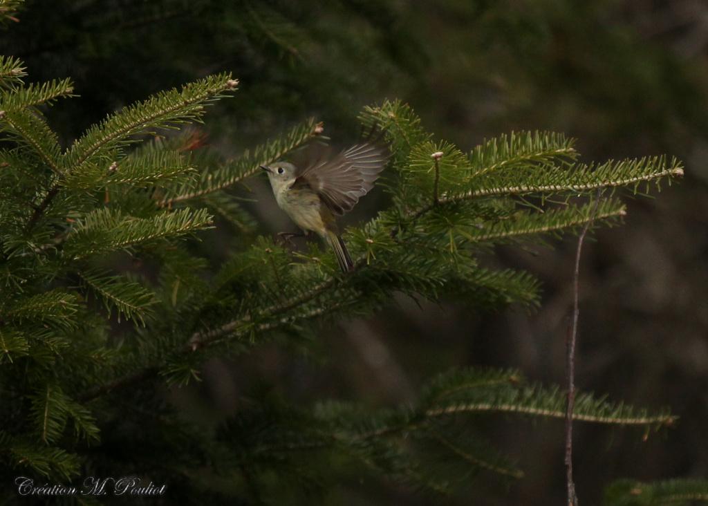 Quel est ce petit oiseau qui semblait butiner les sapins Img_7619