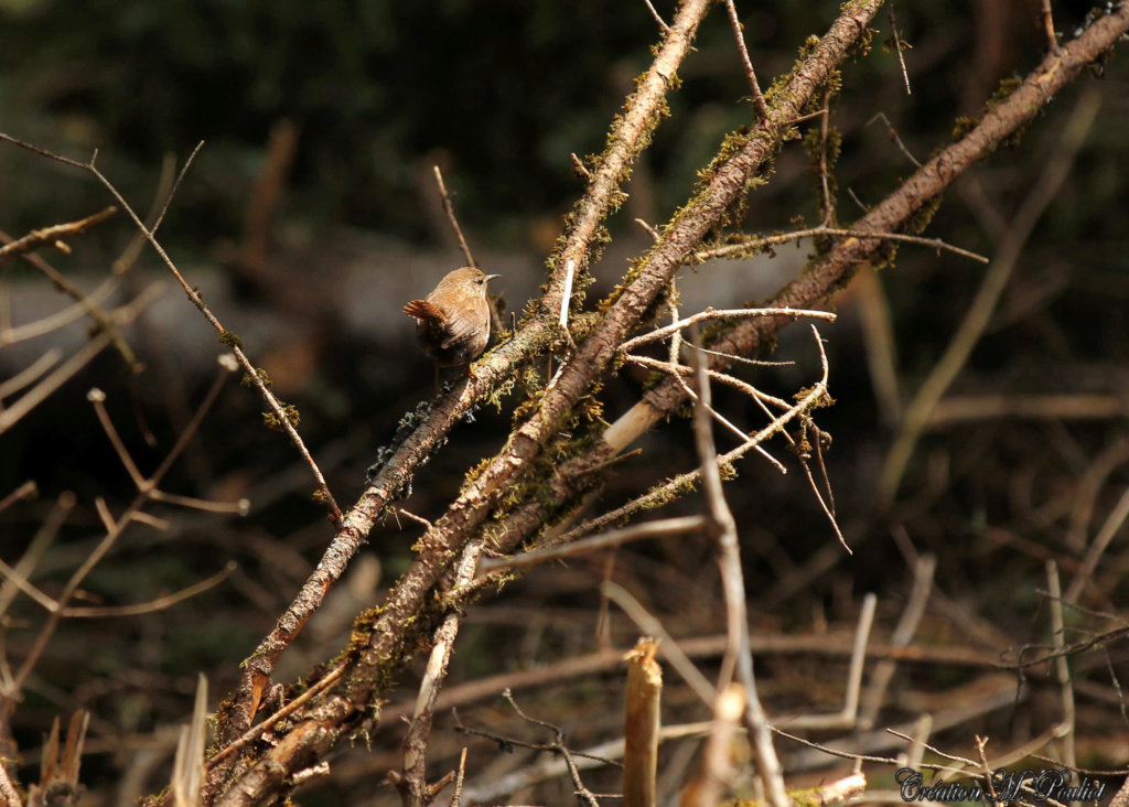 Troglodyte des forêts toujours en mode séduction Img_7710