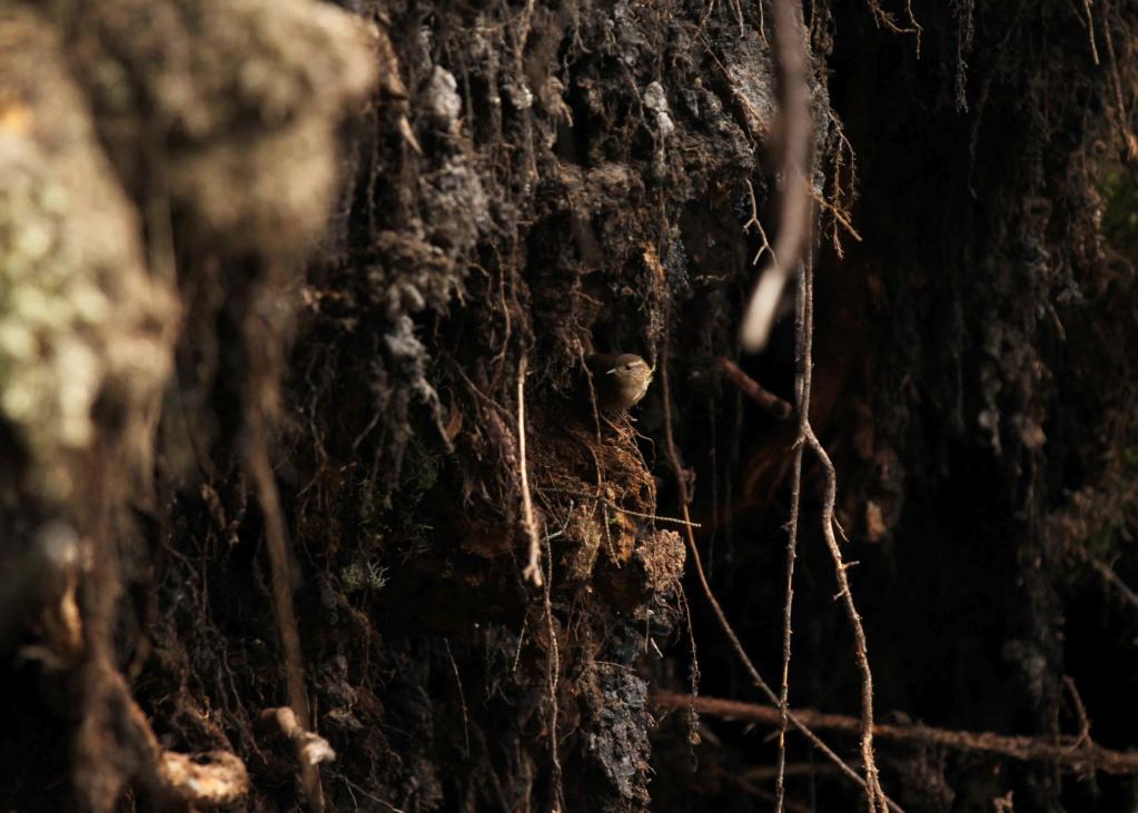 Troglodyte des forêts toujours en mode séduction Img_7711