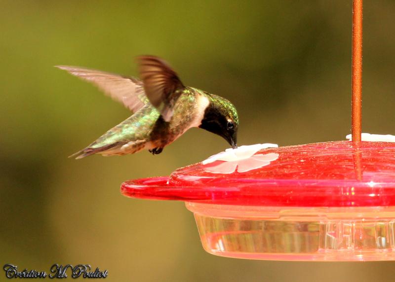 Colibri mâle  Img_7917