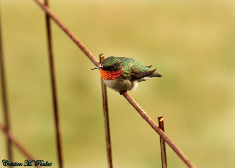 Colibri mâle  Img_8011