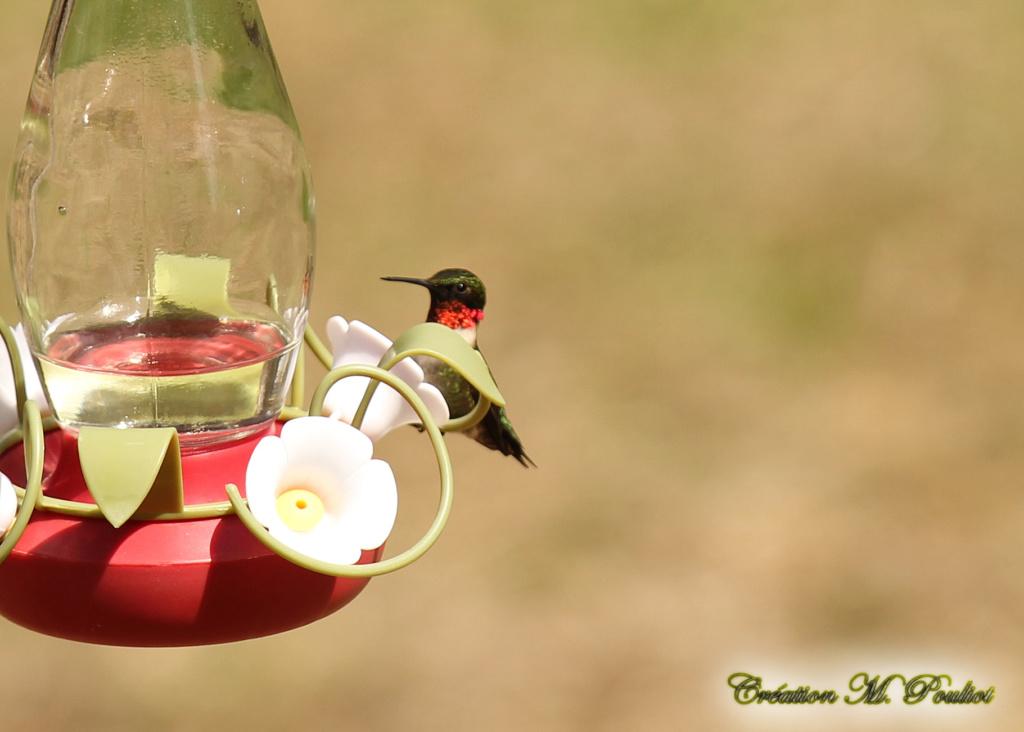 Enfin un colibri à gorge rubis chez moi 17 mai 2019 Img_8512