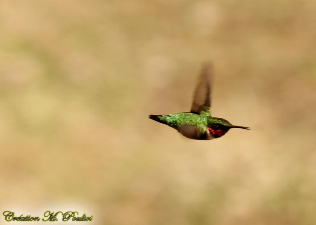 Enfin un colibri à gorge rubis chez moi 17 mai 2019 Img_8513