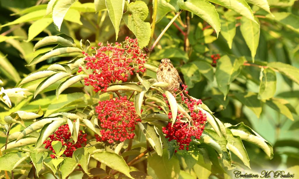 Bruant ?? mange fruit de Sureau Img_9714
