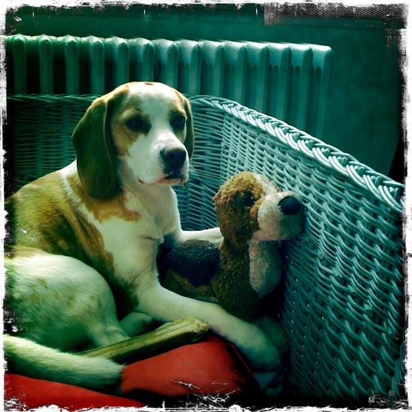 ACHILLE, beagle mâle, 2 ans (54) Achill11