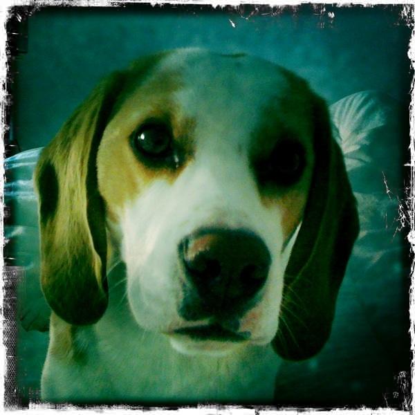 ACHILLE, beagle mâle, 2 ans (54) Achill12