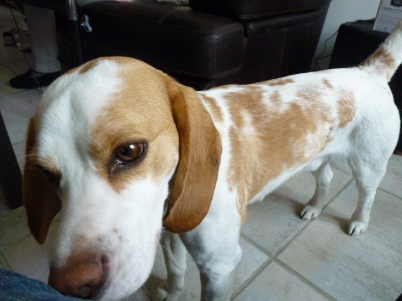 ACHILLE, beagle mâle, 2 ans (54) P1010410