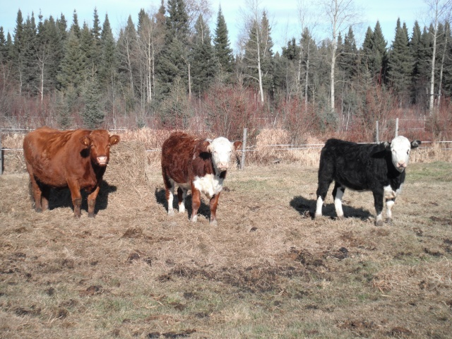 Mes vaches  2010_013