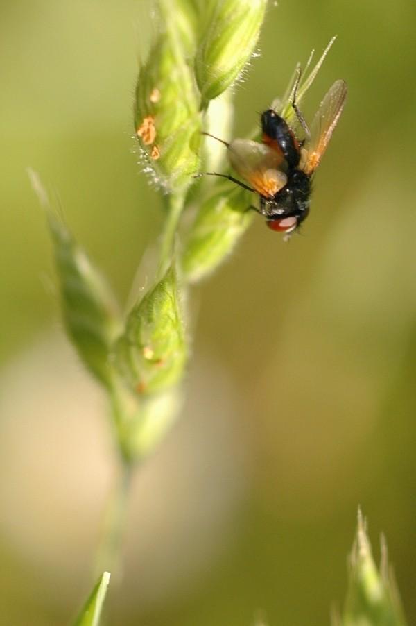 [Tachinidae] Mouche rouge et noire Dsc_5218