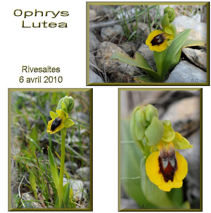 Ophrys lutea ( Ophrys jaune ) Lutea10