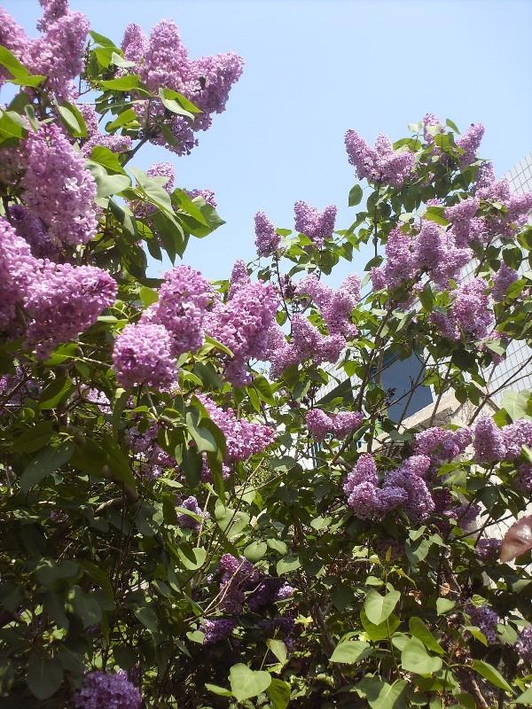 En fleurs! Hpim9215
