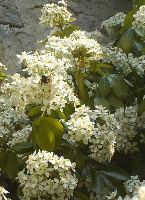 En fleurs! Hpim9217
