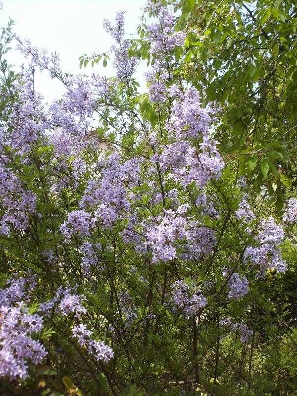 En fleurs! Hpim9218