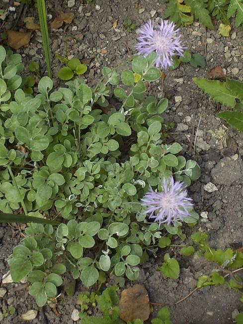 Centaurea bella Hpim9510