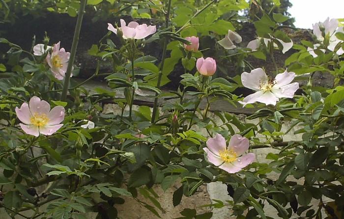 Rosa canina Hpim9610