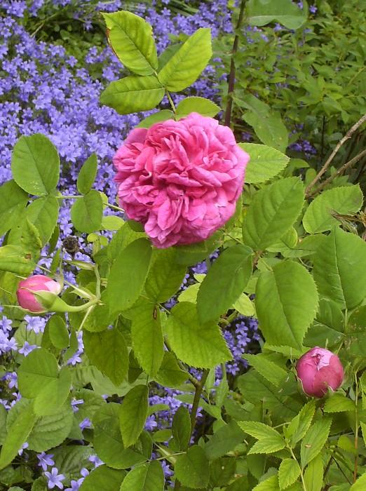 Rosa gallica- Parfum d'Antan Hpim9616