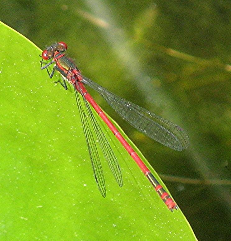 Libellule - Pyrrhosoma nymphula Libell10