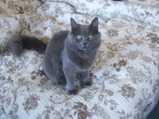 PERDU LEO chât Mâle gris sur ARRAS (62) Dscf2211