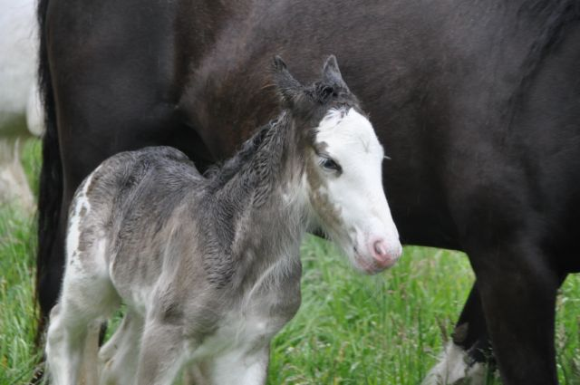 10 - 59 IC... Laurel à l écurie de Tine a eu son bébé Baba_l11