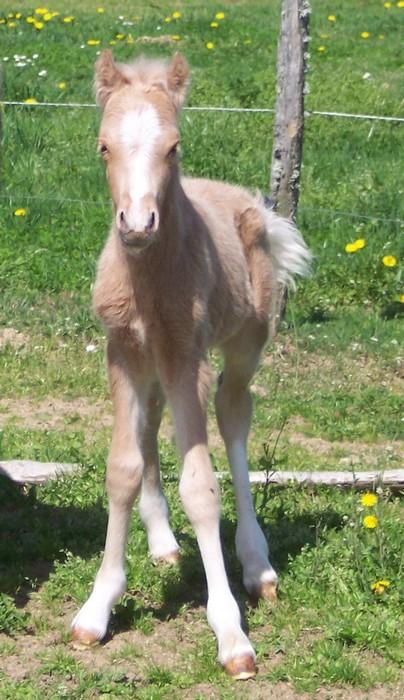 BEKOOL DELADOGE, mâle Welsh A palomino Bekool15