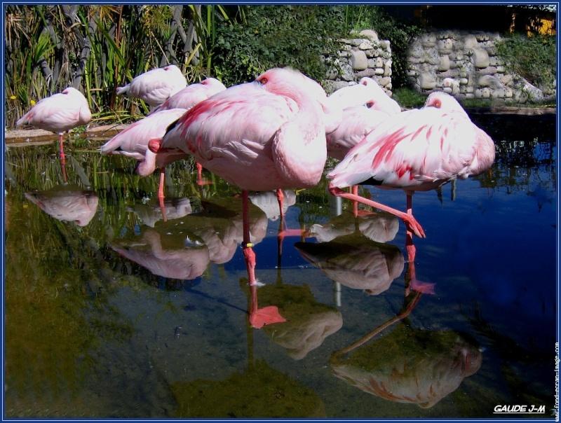 les ailes poupres , les flamants roses Flaman13