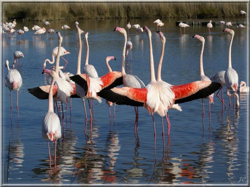 les ailes poupres , les flamants roses Galeri11