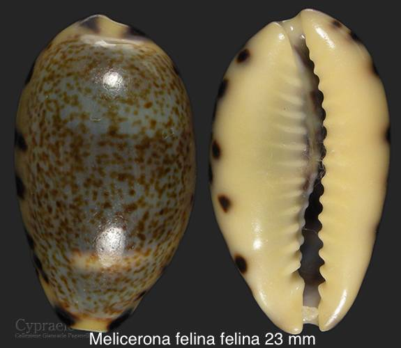 Melicerona felina (Gmelin, 1791) et Melicerona listeri (Gray, 1824) 026de910