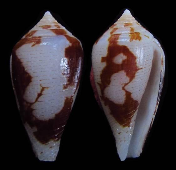 Conus (Pionoconus) fischoederi   Röckel & da Motta, 1983 17c17410